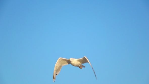 Thumbnail for Gull Soars Into the Blue Sky and Hovers in the Open Space.