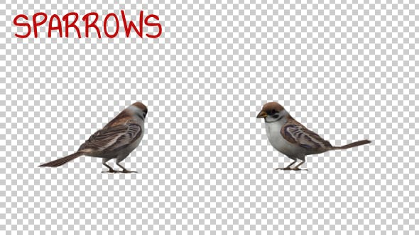 Thumbnail for Sparrows