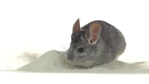 Thumbnail for Gray Chinchilla Is Bathed in Zeolite Sand for Cleansing Fur