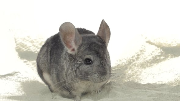 Gray Chinchilla Is Bathed in Sand for Cleansing Fur.