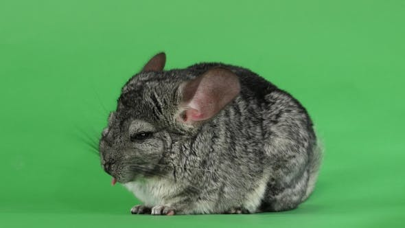 Thumbnail for Gray Chinchilla Licking His Muzzle and Falling Asleep. Green Screen