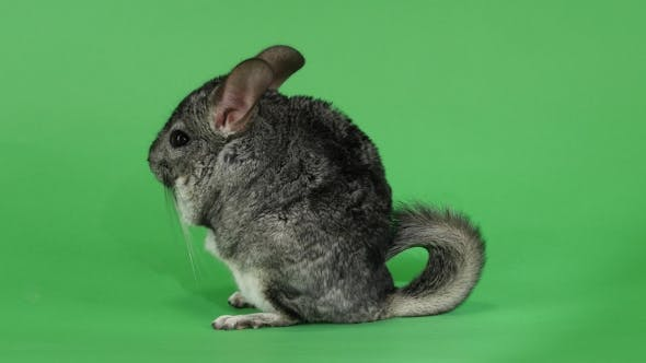 Thumbnail for Chinchilla Sits on Hind Legs Sideways To Viewer. Green Screen
