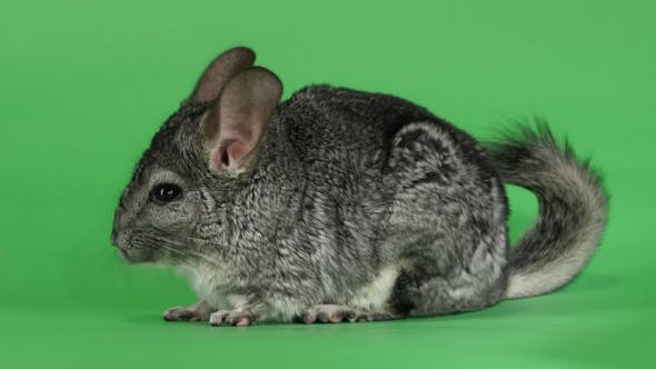 Thumbnail for Gray Chinchilla Washed and Licked Sideways To Camera. Green Screen