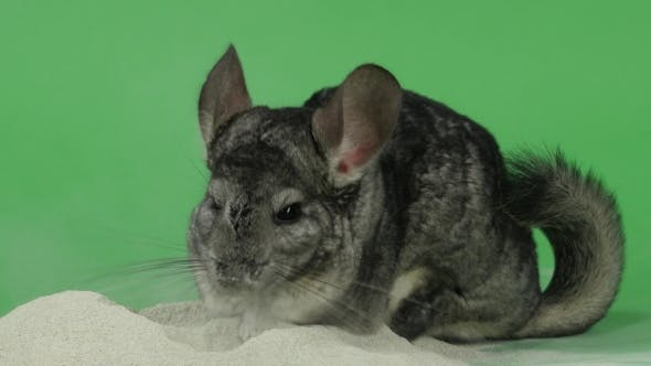 Thumbnail for Bathing Chinchilla in Sand for These Animals. Green Background,