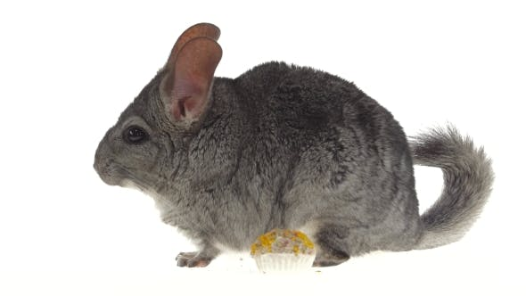 Chinchilla Eat Treat for Rodents From Seeds and Runs Away