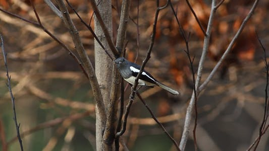 Thumbnail for Oriental Magpie Robin On A Tree Branch