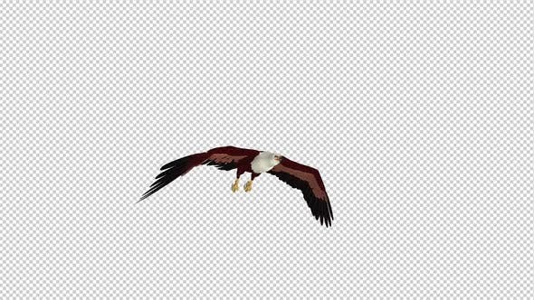 Brahminy Kite - Flying Loop - Side Angle View