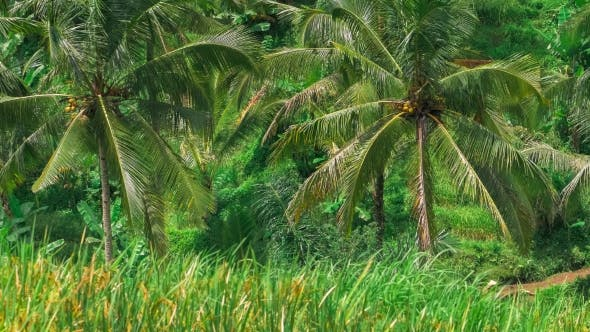 Thumbnail for Coconut Palm Trees Moving By the Wind on Tegalalang Rice Terrace. Bali. Indonesia
