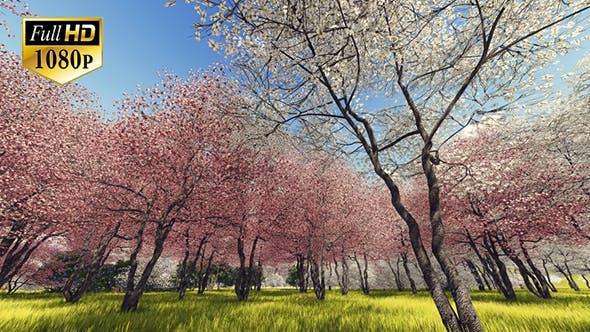 Blossoming Sakura 3