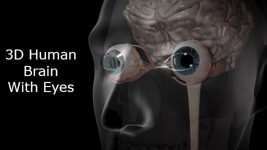 Thumbnail for 3d Human Brain With Eyes