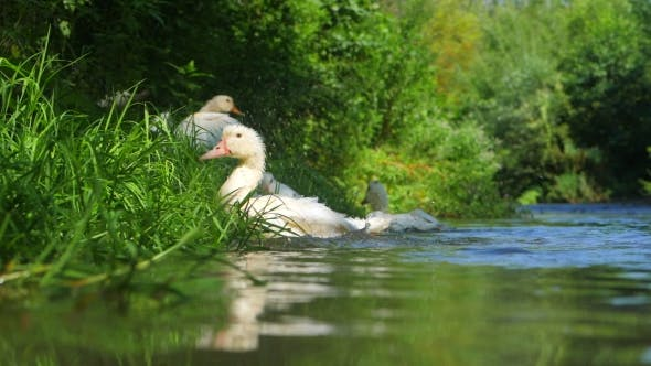Thumbnail for DOMESTIC DUCKS FLOATING ON THE RIVER. Beautiful Ducks Is Spreading Its Wings To Fly on the Lake