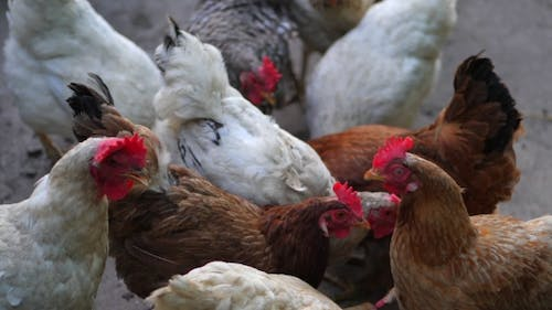 of Domestic Chicken at a Farm. Industrial Chicken Hen for Egg Production. Hens Feeding and Then Get