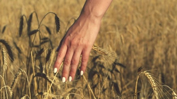 Thumbnail for Woman with White Nails with His Back To the Viewer in a Field of Gold Wheat Touched