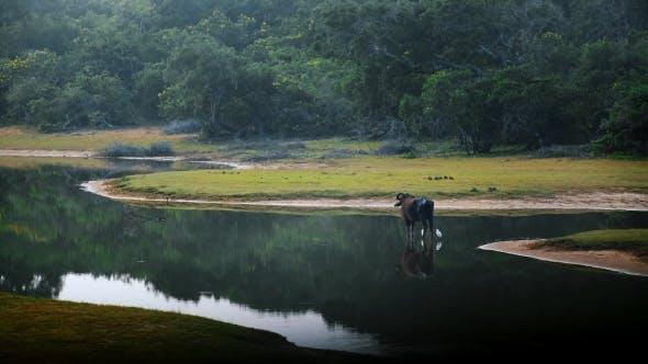 Thumbnail for Water Buffalo Standing Near the Lake