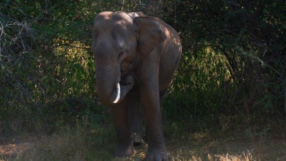 Thumbnail for Elephant Eating Grass in Safari Park