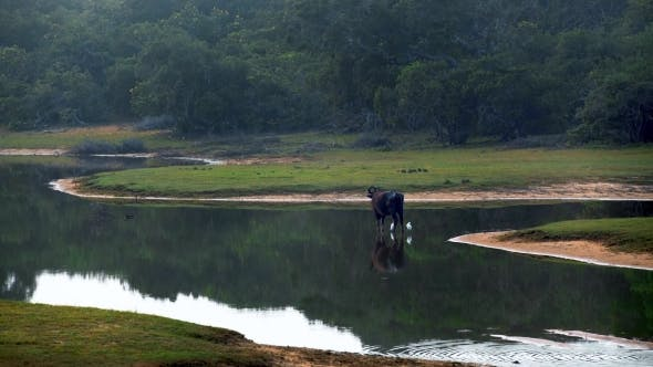 Thumbnail for Water Buffalo Standing in the Lake