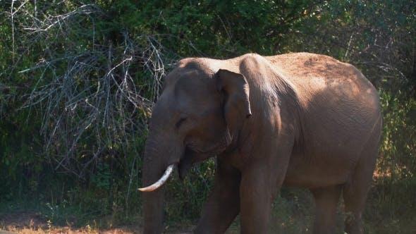 Thumbnail for Wild Elephant Eating Grass in Safari Park