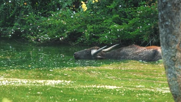 Thumbnail for Wild Buffalo Swimming in Water