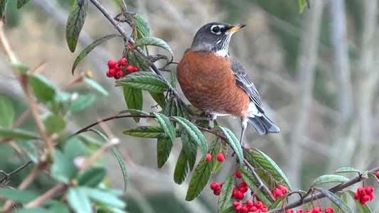 Thumbnail for American Robin On Berry Tree