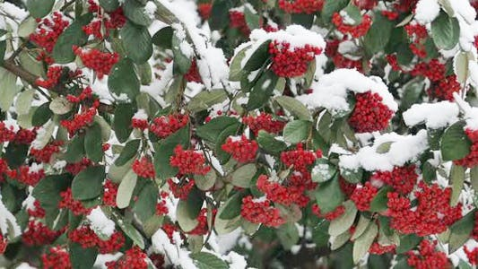 Thumbnail for Xmas Winter Red Berries With Green Leaves In White Snow