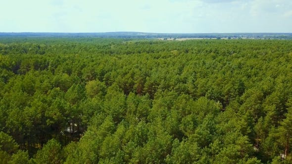 Thumbnail for Evergreen Trees in Woods