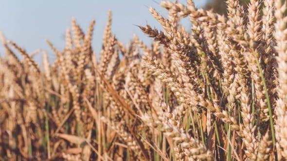 Thumbnail for Dry Golden Wheat Spikes in Sun Light, Slight