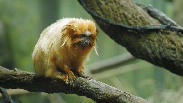 Thumbnail for Golden Lion Tamarin. Leontopithecus Rosalia
