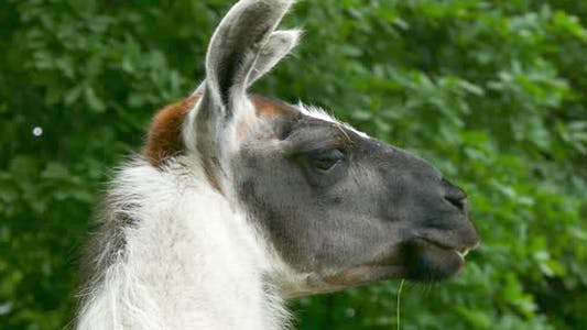Thumbnail for Lama
