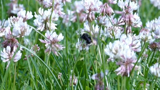 Thumbnail for Bumble Bees and Clover Flowers - 03
