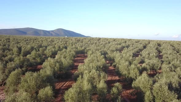 Olive trees with olives, aerial view. Andalusia, Spain