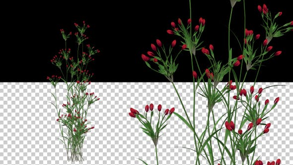 Thumbnail for Growing Red Flower