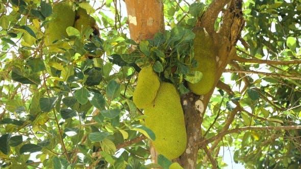 Thumbnail for Jackfruit on the Tree