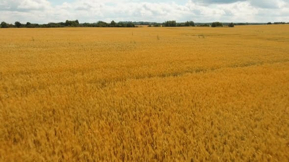 Thumbnail for Aerial View of Golden Wheat field