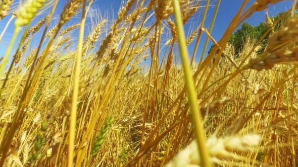 Thumbnail for Moving Through a Wheat Field