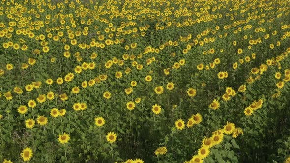 Thumbnail for Crop Of Organic Sunflower Helianthus Annuus From Above