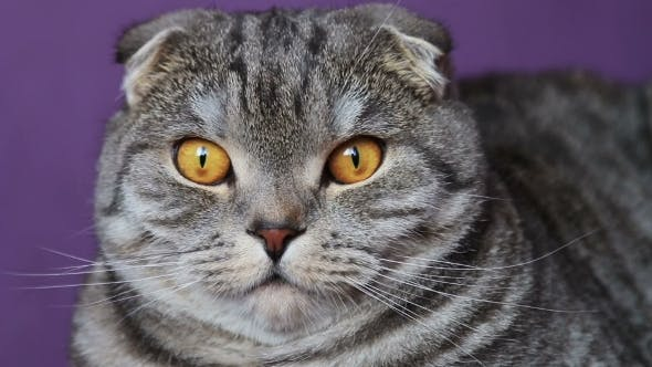 Thumbnail for Closer Look of the Scottish Fold Cat on a Purple Background.