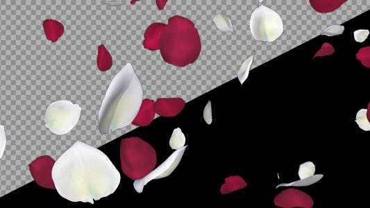 Thumbnail for Red and White Rose Petals - Falling Loop