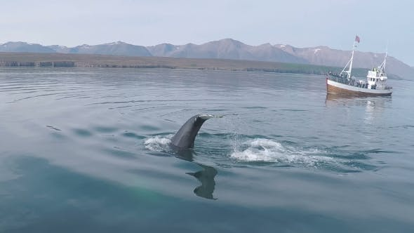 Thumbnail for Large Body of Wild Blue Whale Seen During Boat Safari Tour for Tourists