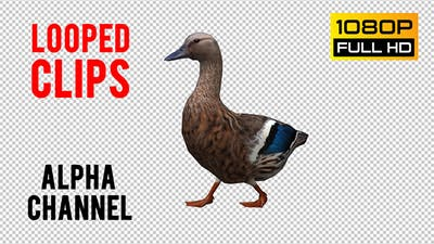 Duck Looped