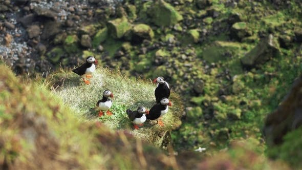 Thumbnail for Atlantic Puffins at Latrabjarg in the Grass