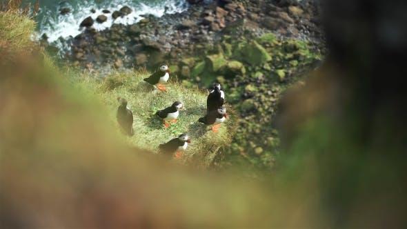 Thumbnail for Atlantic Puffins at Latrabjarg Rock