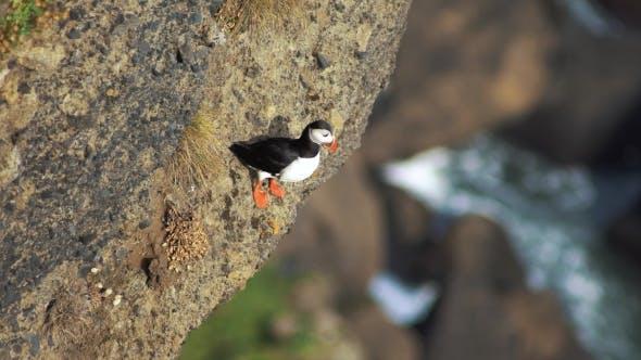 Thumbnail for Atlantic Puffins at Latrabjarg Rock Edge