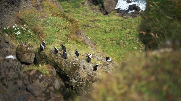 Thumbnail for Numerous Atlantic Puffins at Latrabjarg