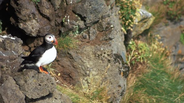 Thumbnail for Atlantic Puffins at Latrabjarg