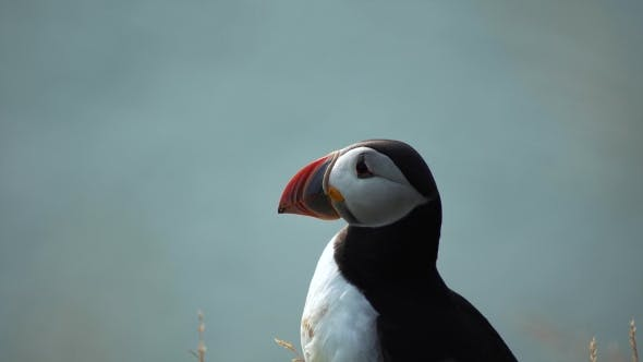 Thumbnail for Atlantic Puffins of Iceland