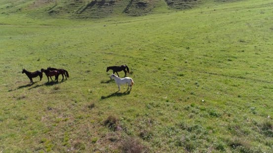 Cover Image for Low Altitude Orbital Flight Over Wild Horses Herd at Perfect Green Rural Field