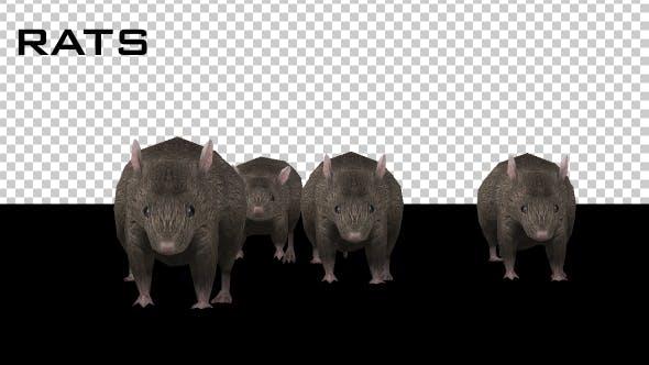 Thumbnail for Rats Running
