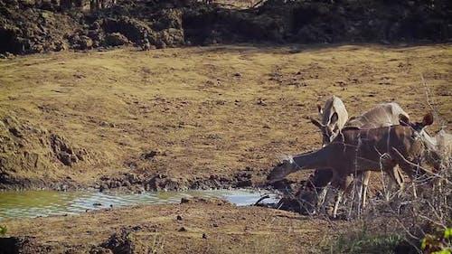 Greater kudu in Kruger National park, South Africa