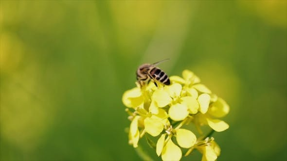 Bee Collects Nectar From Mustard Rapeseed Flower .