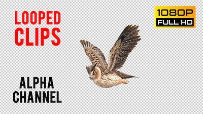 Owl Looped